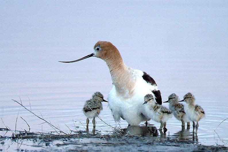 Malheur National Wildlife Refuge Birds